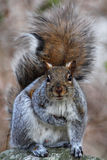 Little squirrel Royalty Free Stock Photography