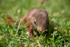 Little squirrel baby Royalty Free Stock Images