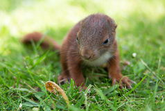Little squirrel baby Stock Photography