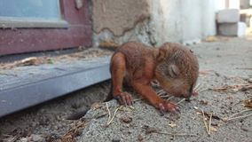 Little squirrel baby sitting Royalty Free Stock Image