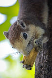 Little squirrel. A cute little squirrel on a tree in a park Royalty Free Stock Photo
