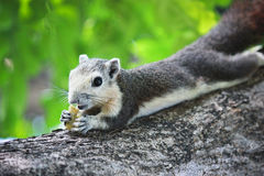 Little squirrel. A cute little squirrel on a tree in a park Royalty Free Stock Photography