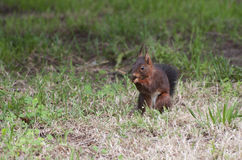 Little squirrel eating in the forest. Little squirrel eating quietly in the forest Stock Image
