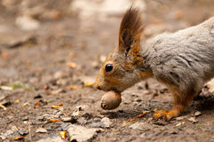 Little squirrel eating nut Stock Images