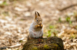 Little squirrel eating nut Royalty Free Stock Image