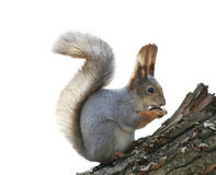 Little squirrel eating nuts on a stump sitting on a white isolat Stock Photography
