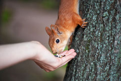 Little squirrel eating out of your hand seeds. Royalty Free Stock Photos