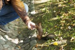 The squirrel eats from a hand Royalty Free Stock Photos