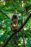 The little squirrel feasting high up in a tree royalty free stock image