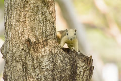 Little squirrel in the forest Royalty Free Stock Photography