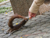 The little squirrel got feeding by a nice people. Stock Images