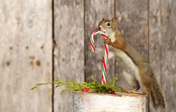 Little squirrel holding a candy cane. Royalty Free Stock Photos