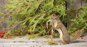 Little squirrel holding a candy cane. Royalty Free Stock Photography