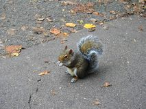 A little squirrel holding and eating a nut in the park royalty free stock photos