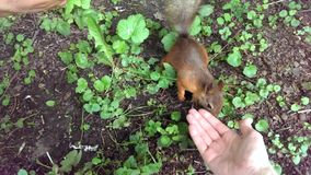Little squirrel is looking for food in the hands of people stock footage