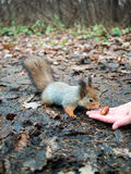 Little squirrel looks at the acorn  Royalty Free Stock Images