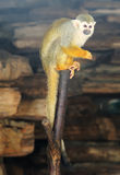 Little squirrel monkey Stock Images