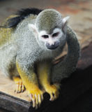 Little squirrel monkey Royalty Free Stock Photo
