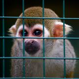 Little squirrel monkey behind bars Royalty Free Stock Photos