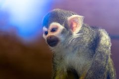Little Squirrel monkey, blue. Reflections royalty free stock photo