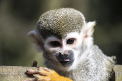 Little squirrel monkey Stock Photos