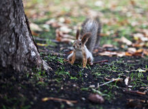 Little squirrel near the tree Royalty Free Stock Photography