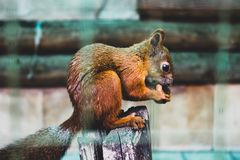 Little squirrel with a nut in a cage royalty free stock photos