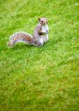 Little squirrel outdoors Royalty Free Stock Photo