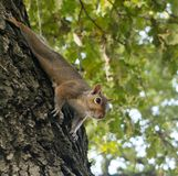 Little squirrel playing in the park stock photography