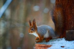 Little Squirrel portrait Royalty Free Stock Photography