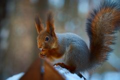Little Squirrel portrait. Little squirrel is posing in Moscow park in winter Royalty Free Stock Photography