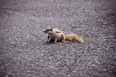 Little squirrel on the road. Little squirrel wandering on the road Royalty Free Stock Photo