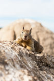 The little squirrel on the rock Stock Photography