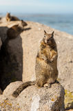 The little squirrel on the rock Stock Images