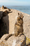 The little squirrel on the rock Royalty Free Stock Photo