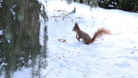 Little squirrel running on snow in winter forest stock video