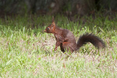 Little squirrel scared in the forest. Little squirrel scared starting to run in the forest Royalty Free Stock Photos