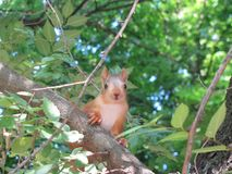 Little squirrel looks in frame royalty free stock image