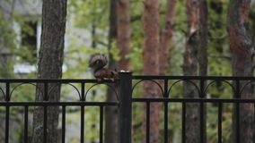 Little squirrel sitting on black fence in green park. Nature. Trees. Rodent. stock video footage