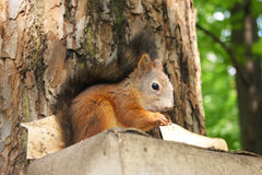 Little squirrel. Sitting on the tree Royalty Free Stock Image