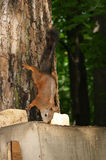 Little squirrel. Sitting on the tree Stock Images