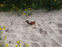 Little squirrel standing on the sand Stock Images