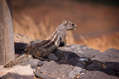 Little squirrel sunbathing on the rocks Stock Photo