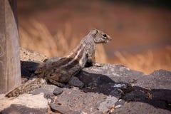 Little squirrel sunbathing on the rocks. Little squirrel close up on the rocks Stock Photo