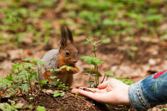 Little squirrel taking nuts from human hand Stock Photo