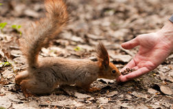 Little squirrel taking nuts from human hand Stock Images