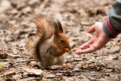 Little squirrel taking nuts from human hand Stock Image