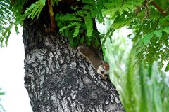 Little Squirrel on the Tamarind Tree stock photography