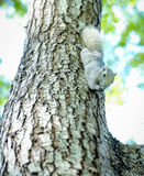 Little squirrel on the tree Royalty Free Stock Images