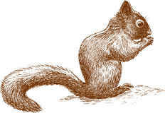Little squirrel Stock Image